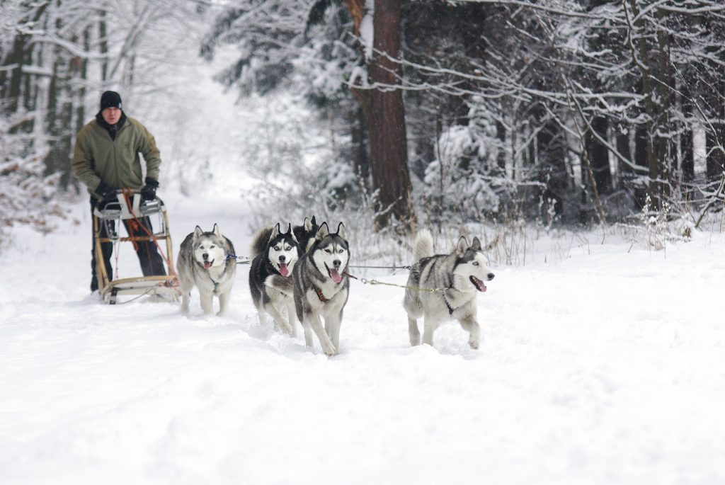 Husky sled ride, Finnish forest winter season