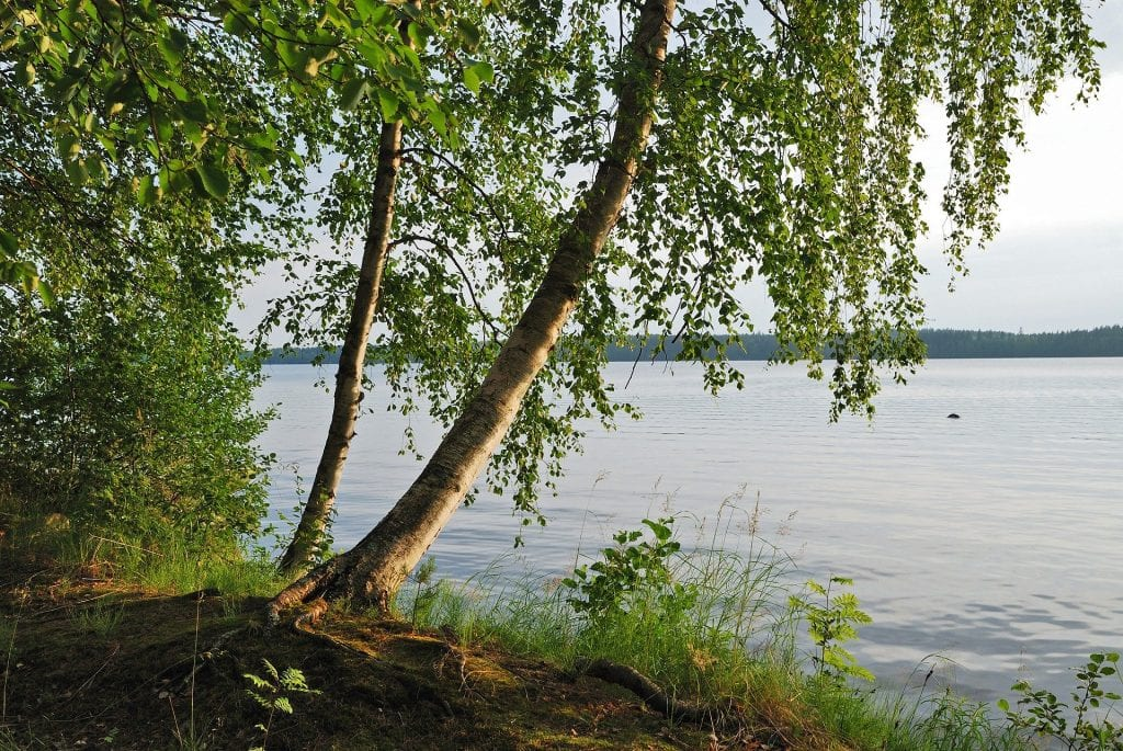 lake scenery with a birch tree