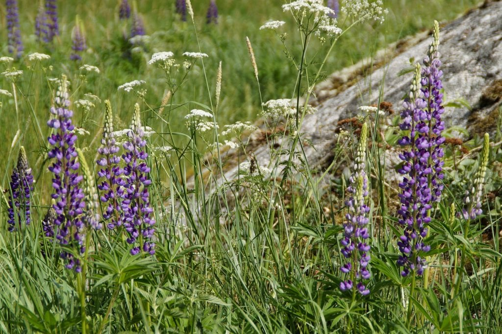 violet lupins on a field