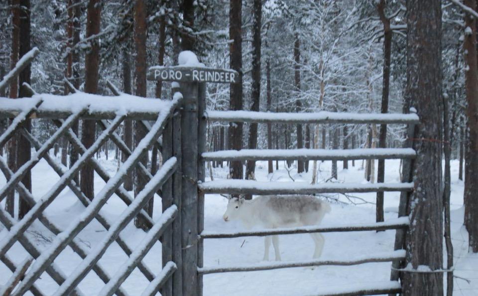 poro reindeer lapland Finland Europe