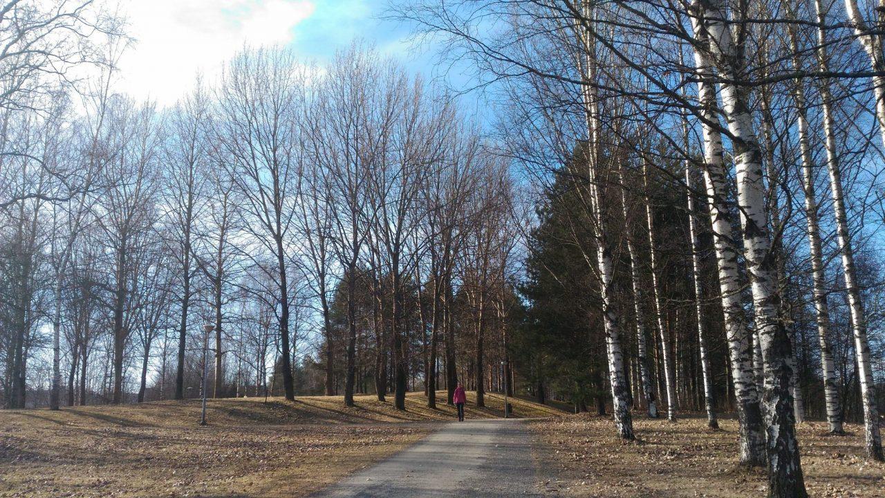 birch trees in Finland Europe