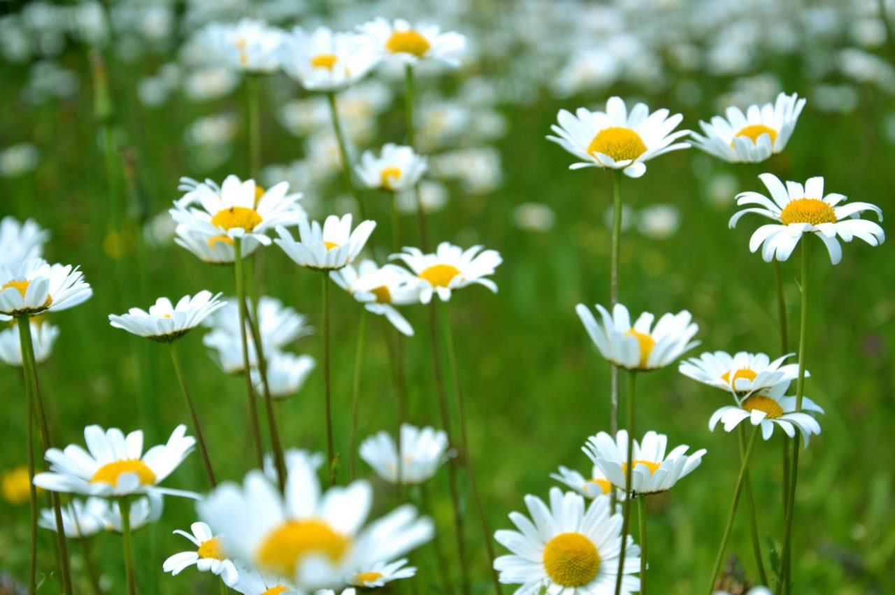 Daisies in greenfield, Finland