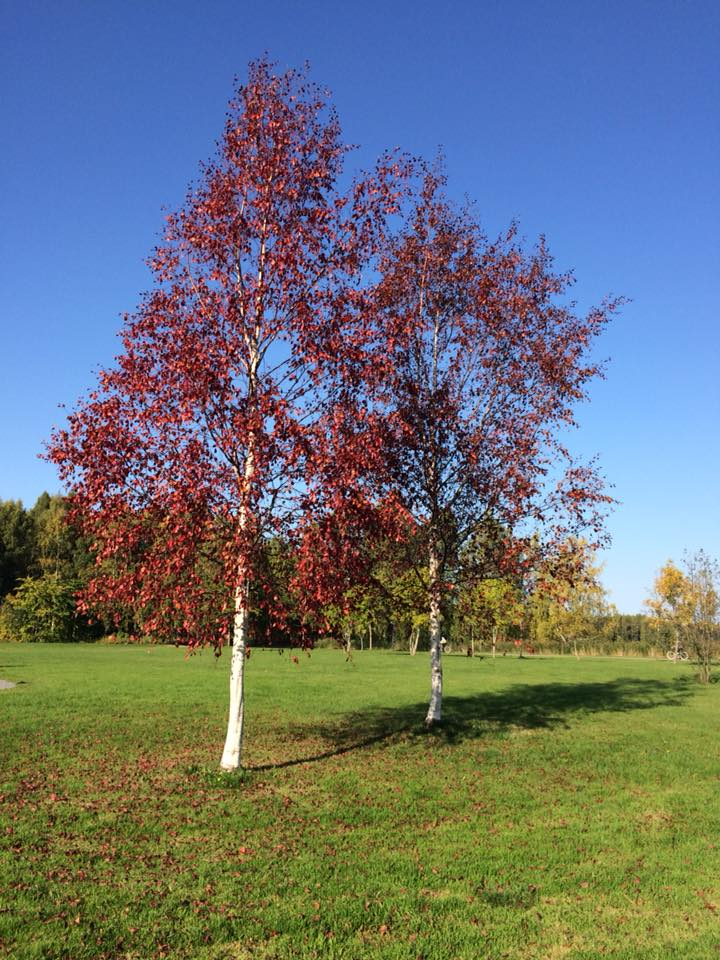two trees in red autumn colours in the middle of a grassy field in Finland