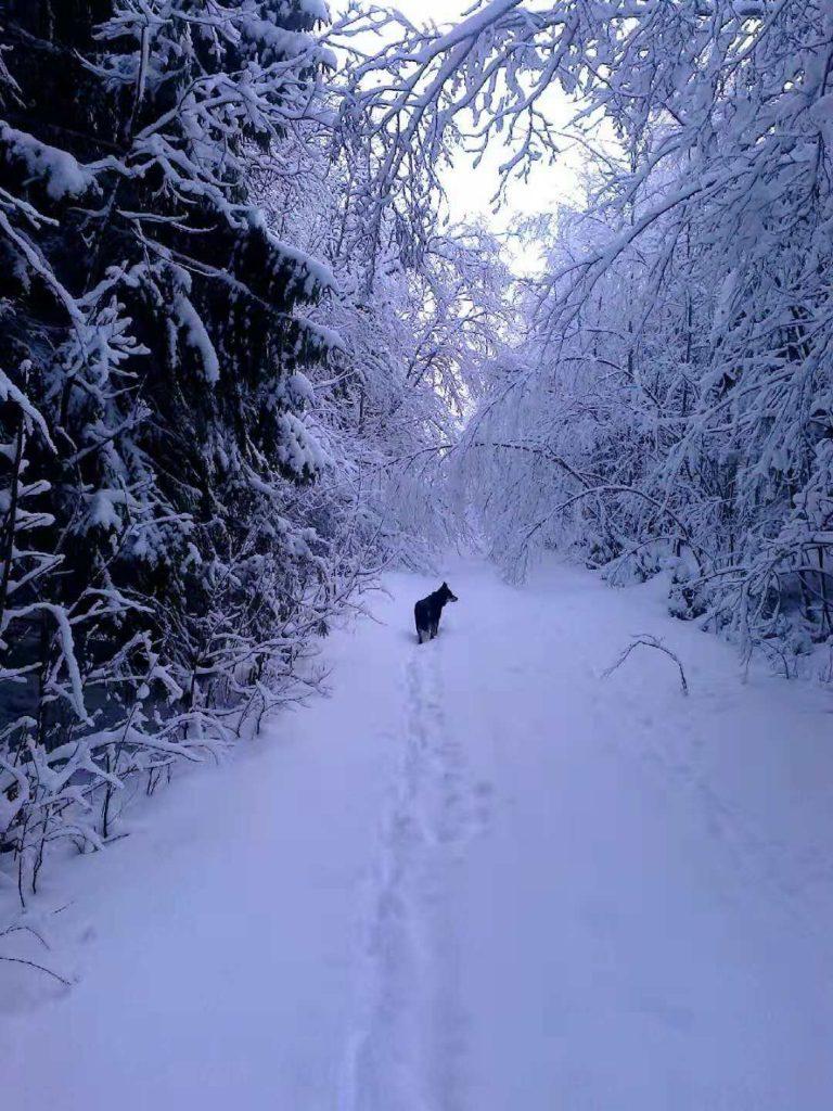 Winter season in Finland, dog walking in snow