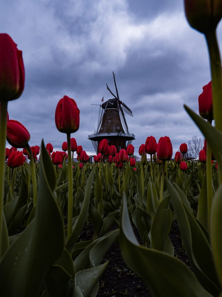 A red tulip field and a windmill